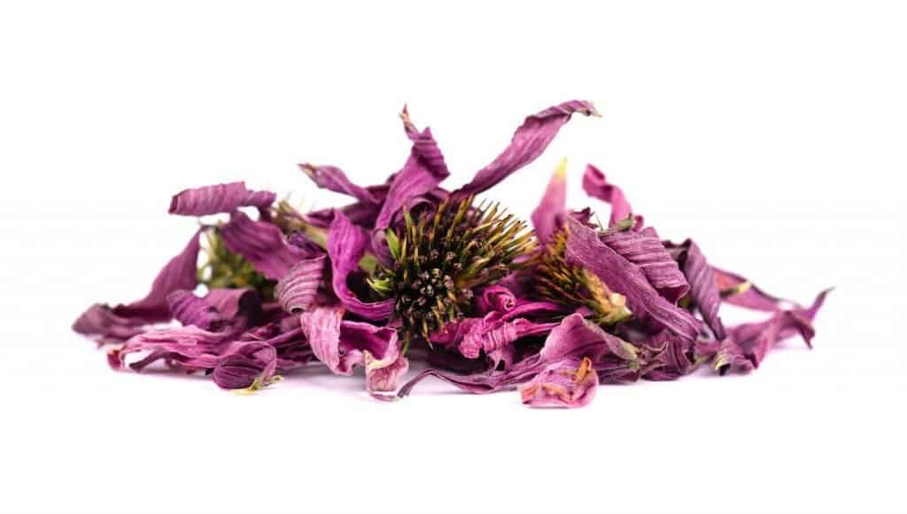 Echinacea to boost immune system