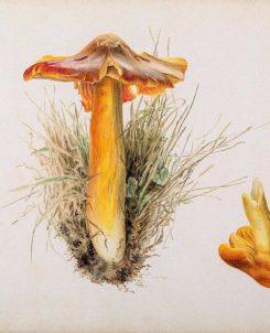 Beatrix Potter, Hygrophorus puniceus, pencil and watercolour